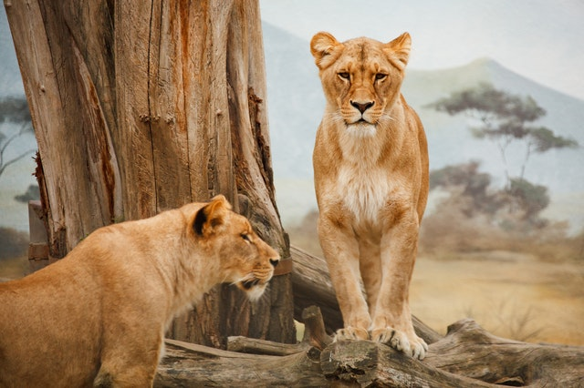 africa-animals-carnivore-41178